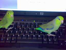 Parrotlets At Work