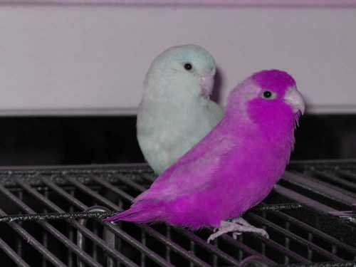 Parrotlets Introduction to the Care and Breeding